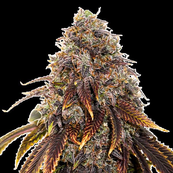 Gelato 41 Feminised Cannabis Seeds   Seed Stockers