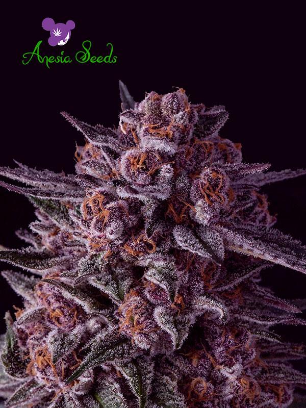Gelato Dream Feminised Cannabis Seeds - Anesia Seeds
