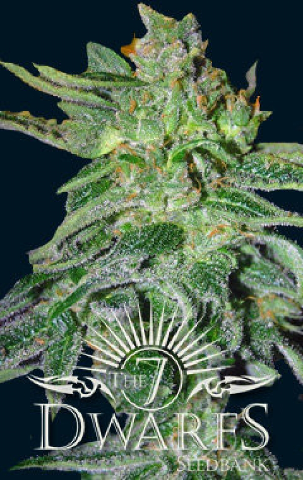Gigantes Auto Feminised Cannabis Seeds   7 Dwarf Seeds