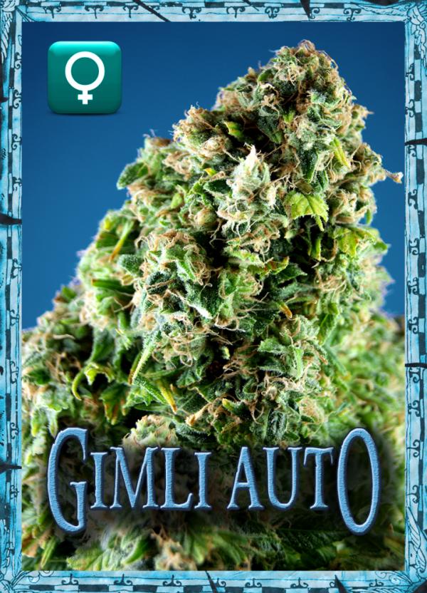 Gimli Auto Feminised Cannabis Seeds | Rockwell Seeds