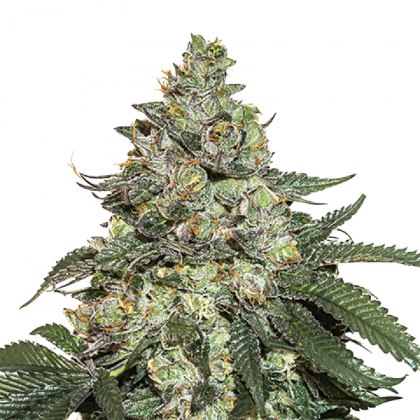 Girl Scout Cookies Auto Feminised Cannabis Seeds | Seed Stockers