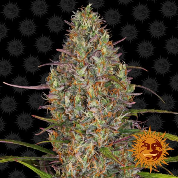 Glue Gelato Auto Feminised Cannabis Seeds   Barney's Farm