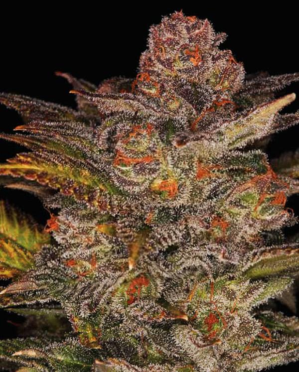 Blueberry Glue Auto Feminised Cannabis Seeds | Expert Seeds