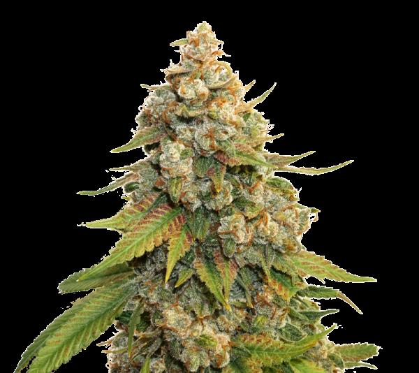 Golden Lemon Haze Feminised Cannabis Seeds | Seed Stockers