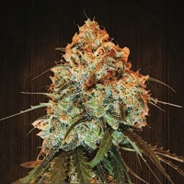 Golden Tiger Feminised Cannabis Seeds | Ace Seeds