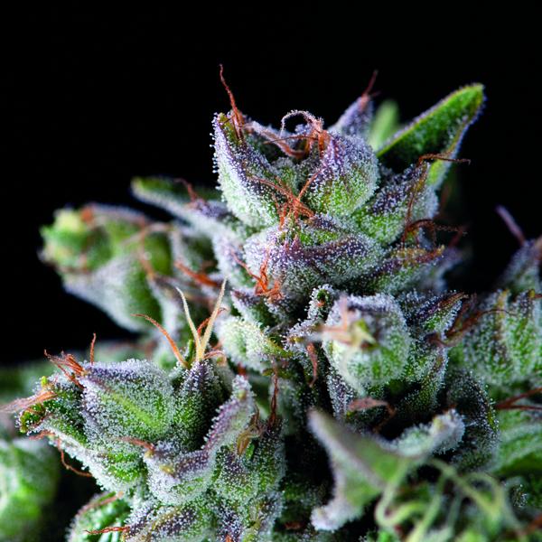 Gorilla Feminised Cannabis Seeds | Pyramid Seeds USA Range