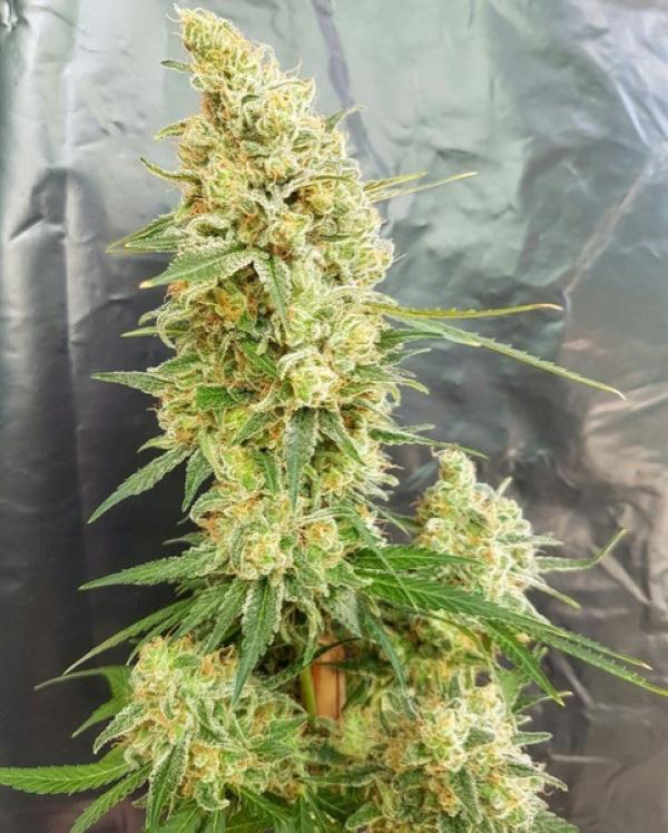 Gorilla Banana Feminised Cannabis Seeds   Expert Seeds