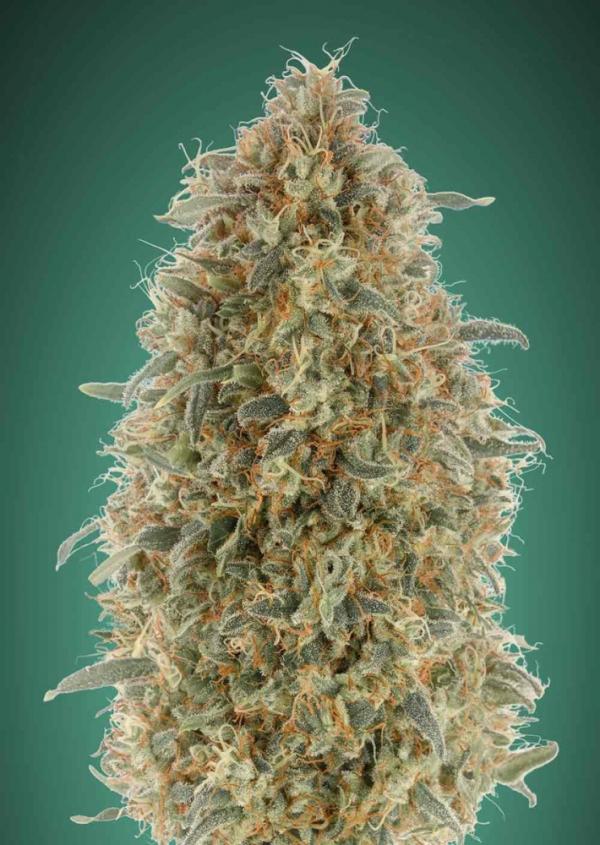 Gorilla Blue Feminised Cannabis Seeds   Advanced Seeds