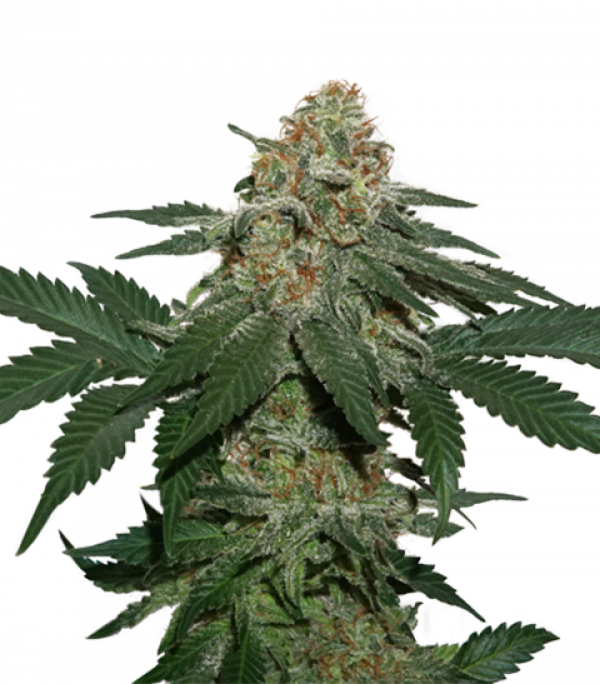 Grandaddy Confidential Feminised Cannabis Seeds | Seed Stockers