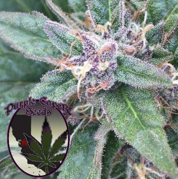 Grape OG Regular Cannabis Seeds | Purple Caper Seeds