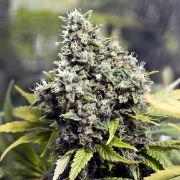 Grapefruit Feminised Cannabis Seeds   Female Seeds