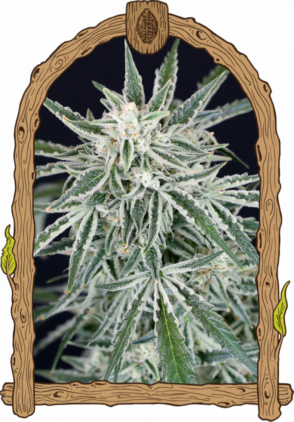 Green Gummy Auto Feminised Cannabis Seeds | Exotic Seeds