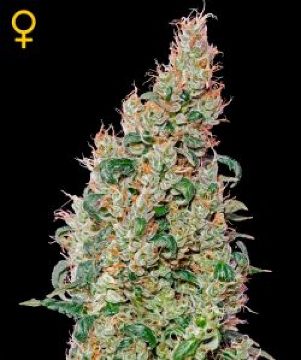 Green-O-Matic Autoflowering Feminised Cannabis Seeds | Green House Seeds