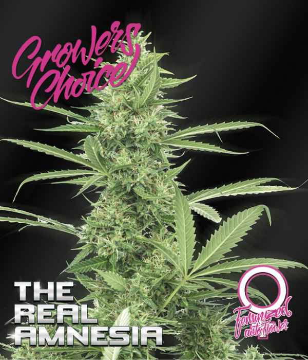 Amnesia (The Real) Auto Feminised Cannabis Seeds - Growers