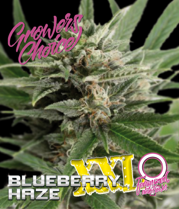 Blueberry Haze XXL Auto Feminised Cannabis Seeds - Growers Choice