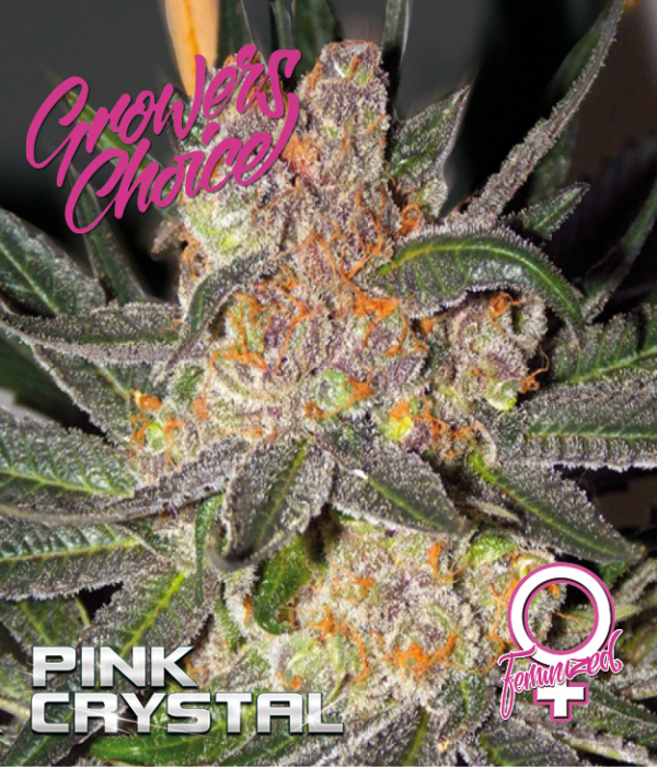 Pink Crystal Feminised Cannabis Seeds - Growers Choice