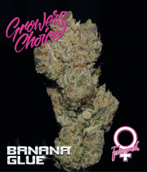Banana Glue Feminised Cannabis Seeds - Growers Choice