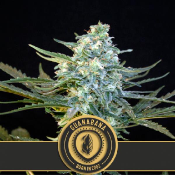 Guanabana Feminised Cannabis Seeds | Blim Burn Seeds