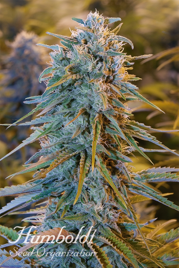 Blue Dream Feminised Cannabis Seeds | Humbolt Seeds Organisation