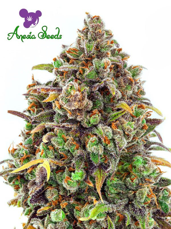 Haze Queen Feminised Cannabis Seeds - Anesia Seeds