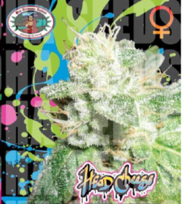Head Cheese Feminised Cannabis Seeds | Big Buddha Seeds