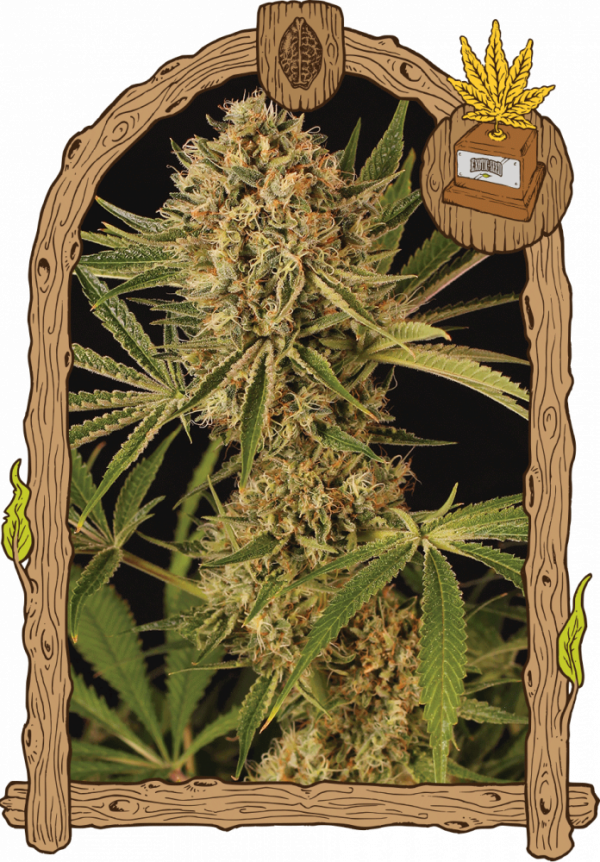 Herz OG Feminised Cannabis Seeds | Exotic Seeds