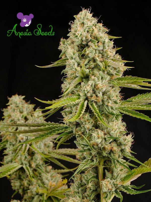 Hindu Kush Feminised Cannabis Seeds - Anesia Seeds