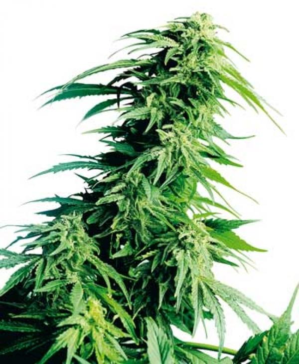 Hindu Kush Regular Cannabis Seeds   Sensi Seeds