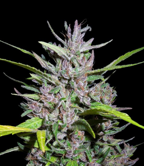 Honduras x Panama Feminised Cannabis Seeds | Ace Seeds