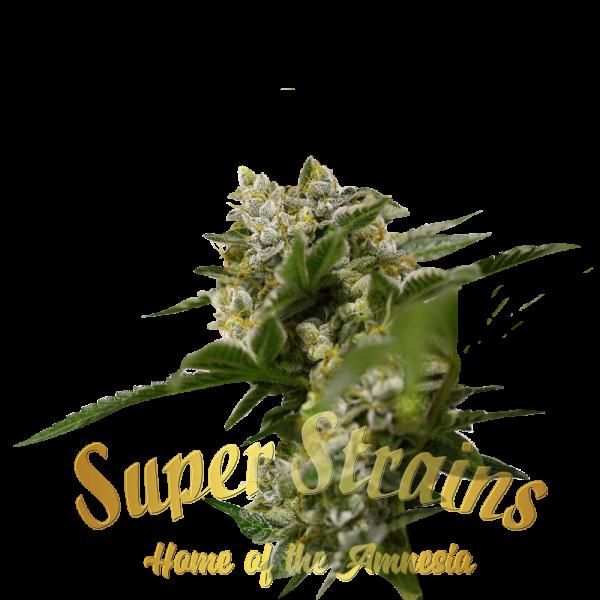Ibiza Farmers Feminised Cannabis Seeds - Super Strains