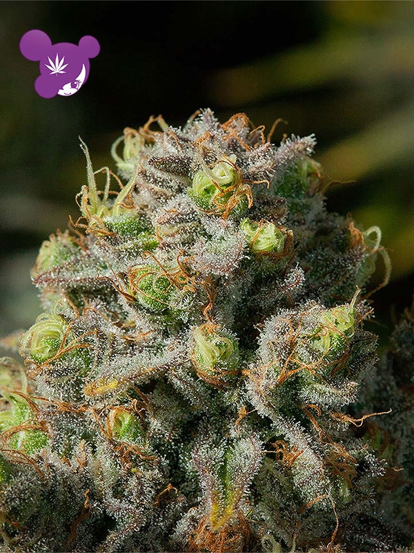 Iceberg Feminised Cannabis Seeds - Anesia Seeds
