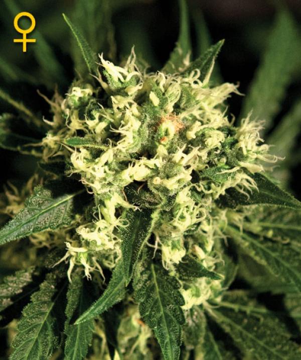 Kalashnikova Automatic Feminised Cannabis Seeds | Green House Seeds