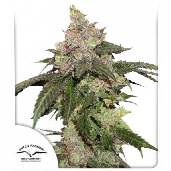 Kerosene Krash Feminised Cannabis Seeds | Dutch Passion