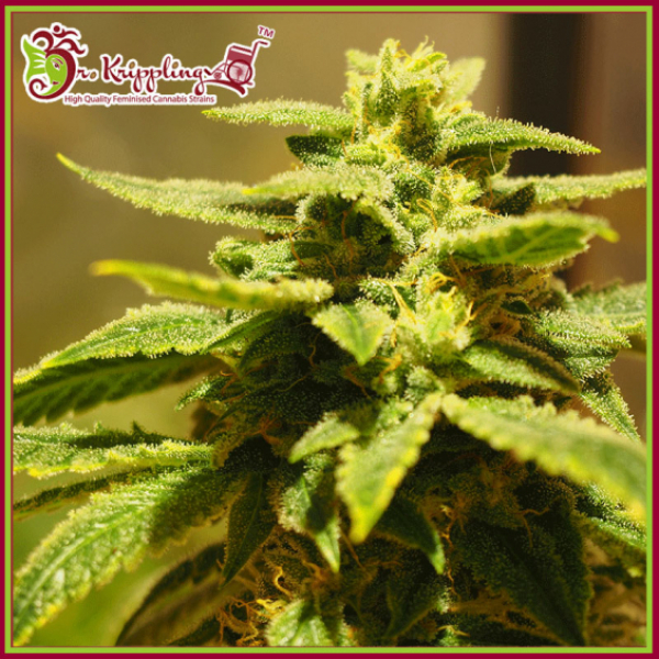 Krippling's Gelato Feminised Cannabis Seeds – Dr Krippling