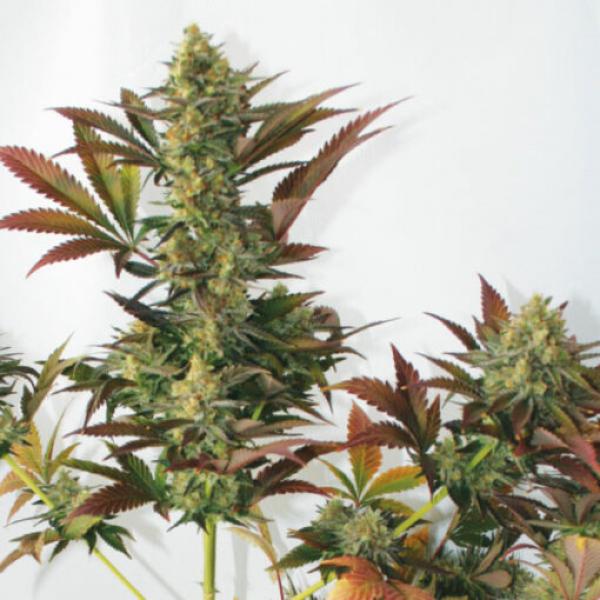 Larry's Lemon OG Feminised Cannabis Seeds   Garden of Green
