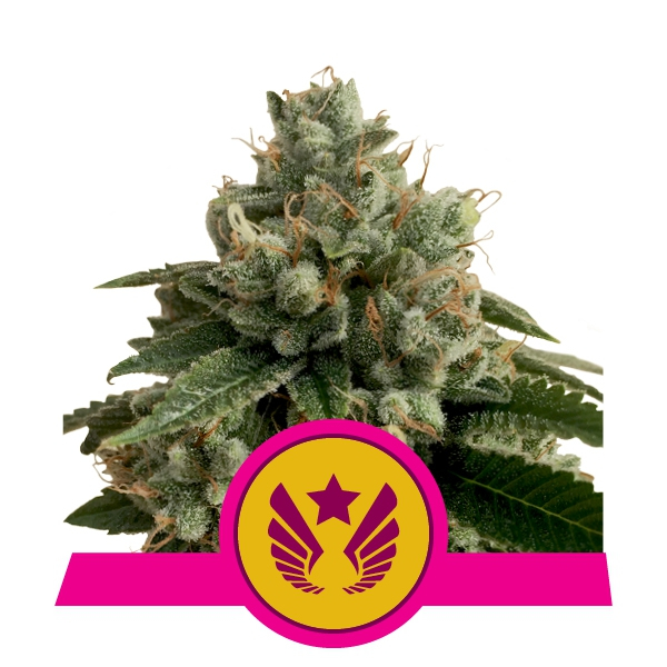 Legendary Punch Feminised Cannabis Seeds | Royal Queen Seeds