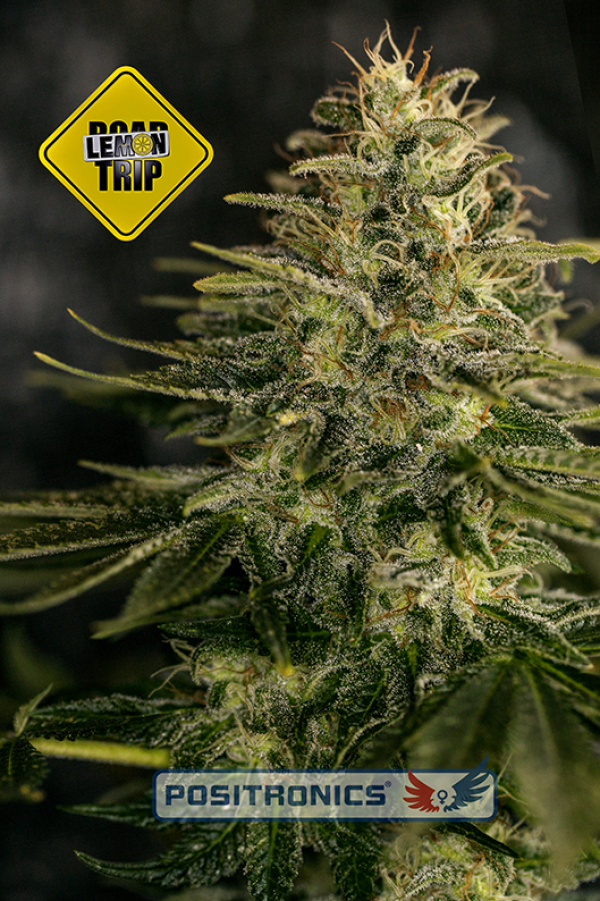Lemon Trip Feminised Cannabis Seeds | Positronics