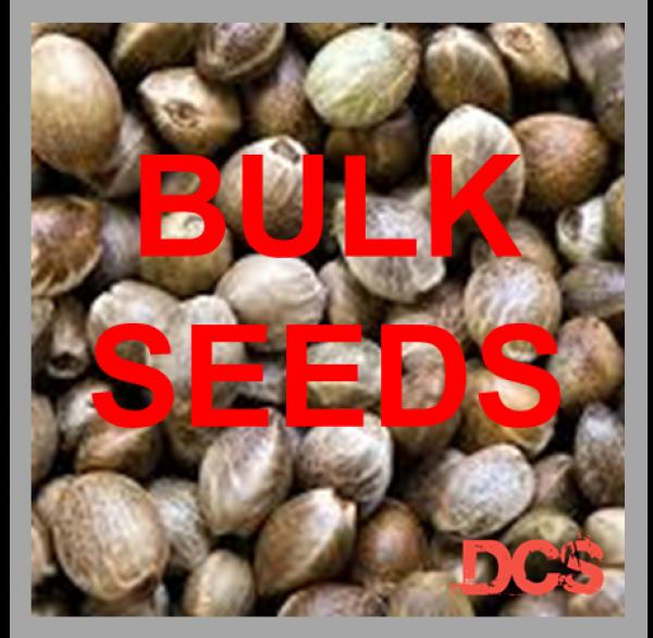 Critical x Green Crack Feminised Cannabis Seeds | 100 Seed Bulk Pack
