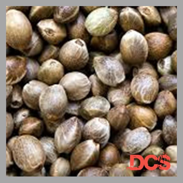 Lemon Diesel Feminised Cannabis Seeds | 100 Seeds Bulk Pack