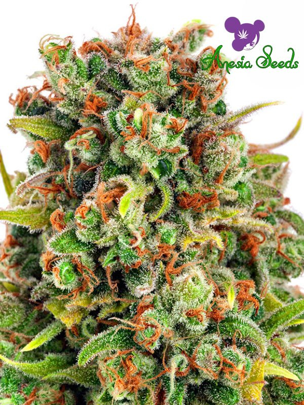 Mandarine 47 Feminised Cannabis Seeds - Anesia Seeds