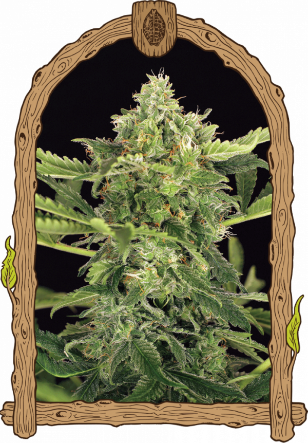 Mango Cream Auto Feminised Cannabis Seeds | Exotic Seeds
