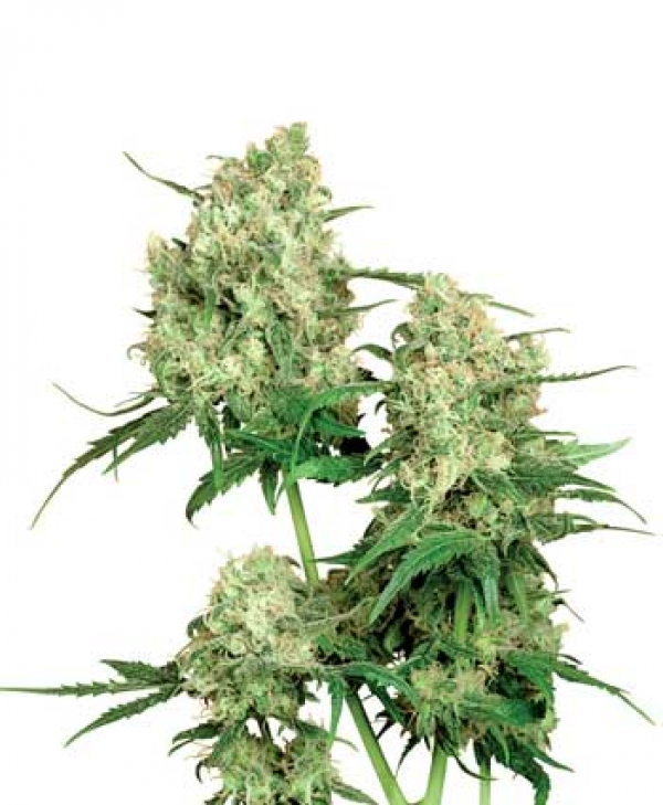 Maple Leaf Indica Regular Cannabis Seeds | Sensi Seeds