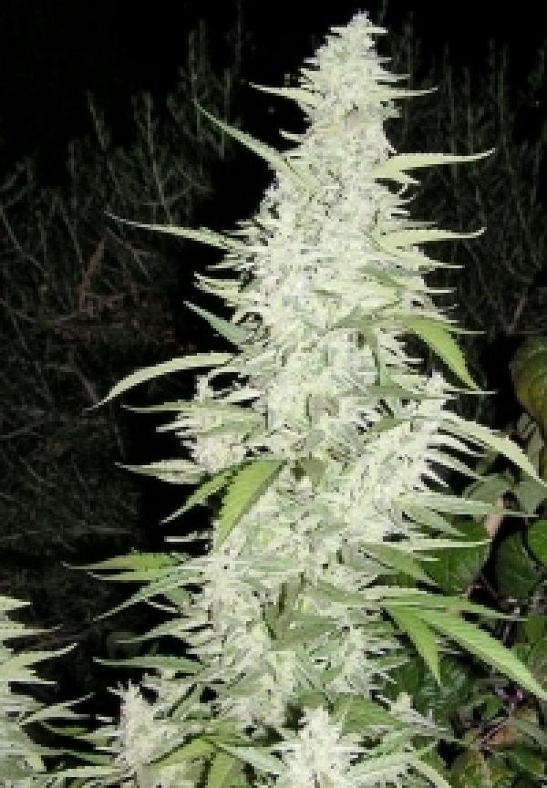 Maroc Feminised Cannabis Seeds | Female Seeds