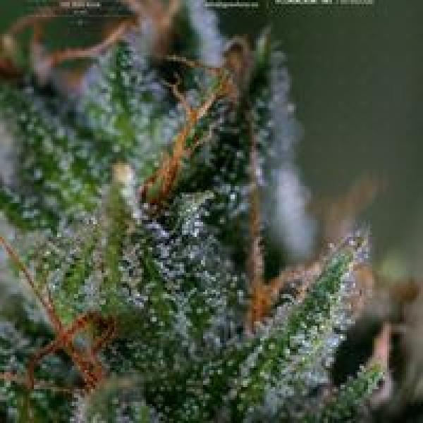 Medicritical Feminised Cannabis Seeds