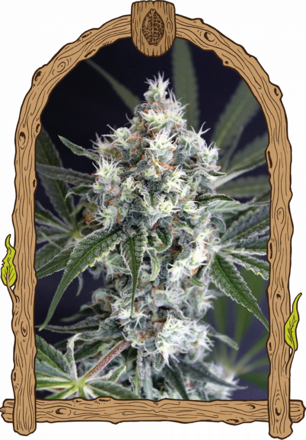 Medxotic Pure CBD Feminised Cannabis Seeds | Exotic Seeds