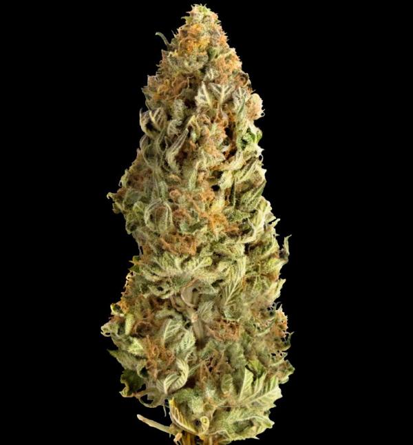 Mega CBD Feminised Cannabis Seeds - Megabuds
