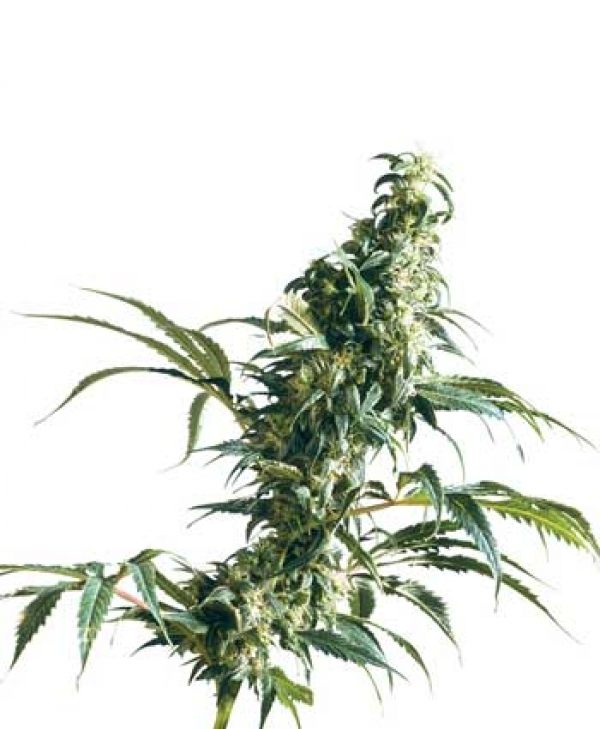 Mexican Sativa Regular Cannabis Seeds | Sensi Seeds