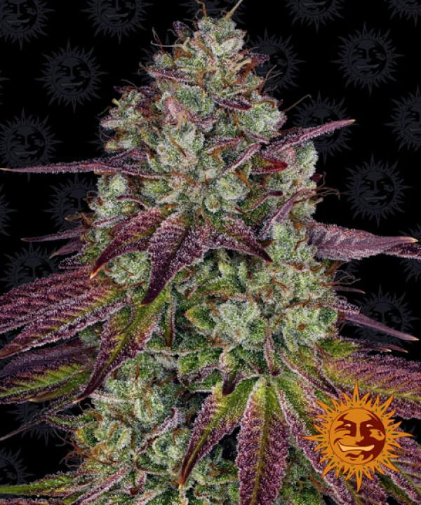 Mimosa Feminised Cannabis Seeds | Barney's Farm