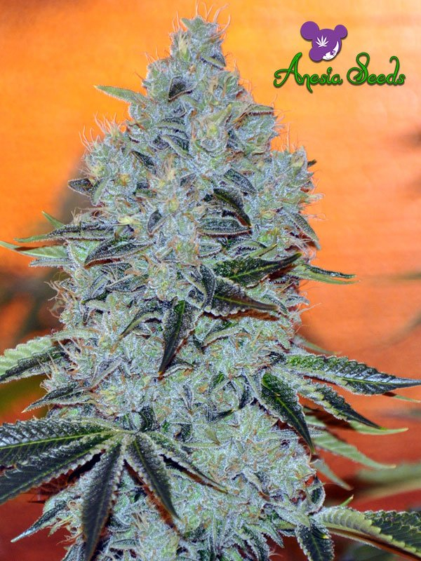 Mob Boss Feminised Cannabis Seeds - Anesia Seeds