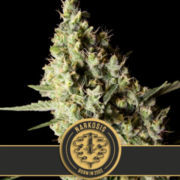 Narkosis Feminised Cannabis Seeds   Blim Burn Seeds